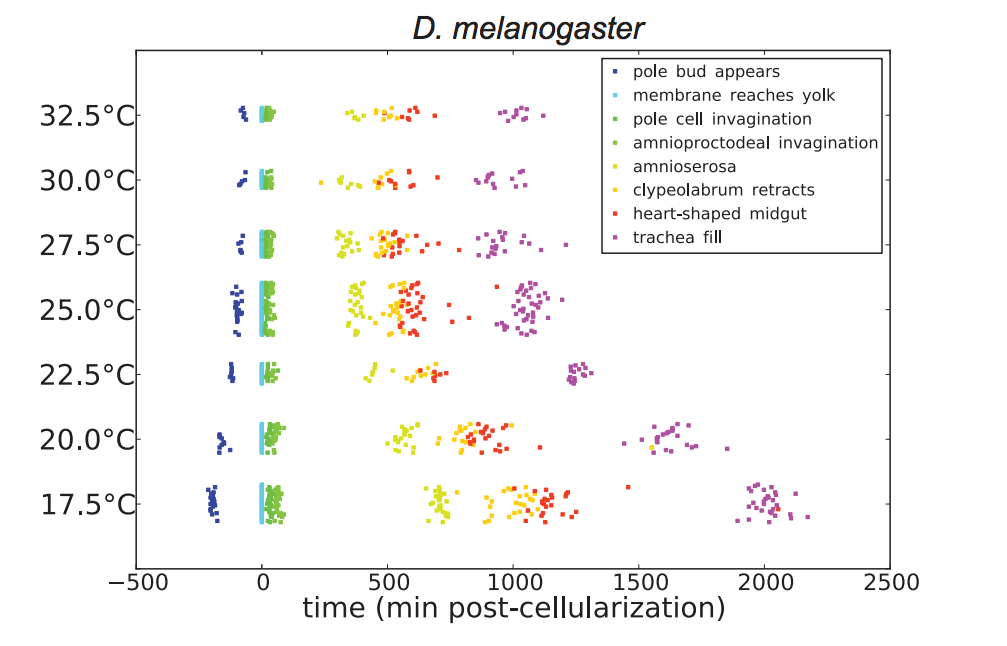 Timing of D. melanogaster development at different temperatures